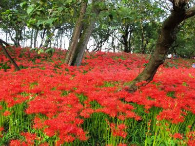 日帰り散策 : 日本一の曼珠沙華