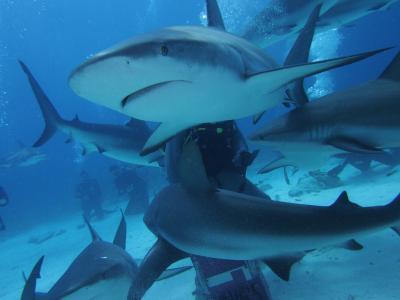 2013 バハマ シャークダイビングに挑戦!カリブの楽園でサメに囲まれる。