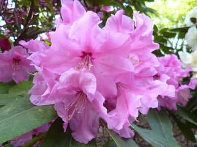 東京観光 3日目パート2 神代植物園で花鑑賞
