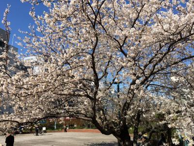 2014年 3月 最終日、築地川 祝橋公園の桜が満開!