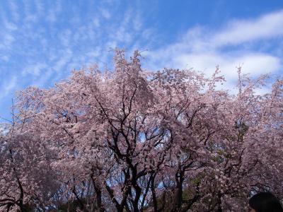 六義園で満開の枝垂れ桜に出会う