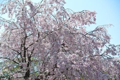 東京散歩『花めぐり(皇居乾通り一般公開)』