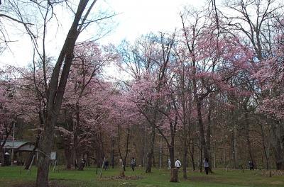 桜前線北上中!~上川地方にも~