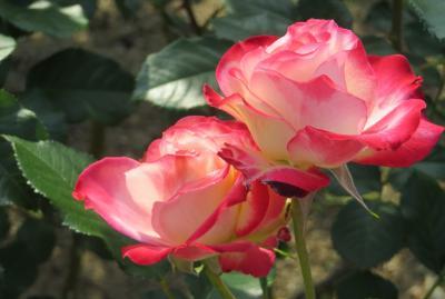 2014春、東山植物園の薔薇(6/8):5月24日(6):ローズ・ドゥ・レッシュ、ロサ・ムンディ、プリンセス・チチブ、ジュビレ・デュ・フランス・ドゥ・モナコ、ダイアナ・プリンセス・オブ・ウェールズ