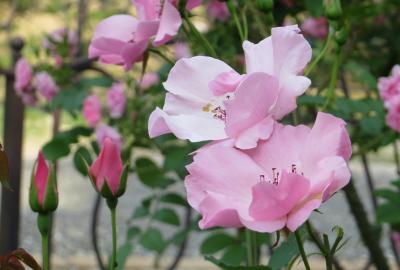 2014春、東山植物園の薔薇(8/8):5月24日(8):クリスチャン・ディオール、ジョン・S・アームストロング、ホワイト・ウィングス、ピース