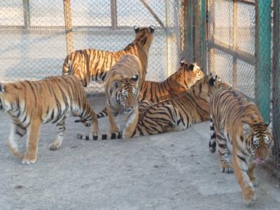 とら、トラ、虎、そして時々違った猛獣(東北虎林園)