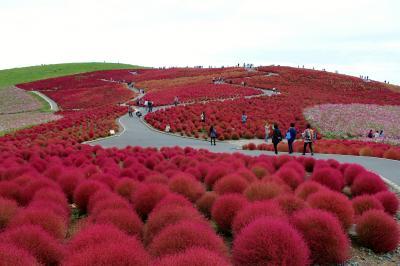 国営ひたち海浜公園のコキアと茨城県フラワーパークのダリアとバラ