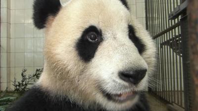 中国 / 雅安 雅安碧峰峡パンダ保護基地行って、可愛いパンダちゃんたちと過ごす一日♪