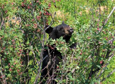 カナダ西部~モンタナ州 ロッキー山脈&史跡(6/全10): 野生動物の宝庫 ウォータートン国立公園 → グレーシャー国立公園