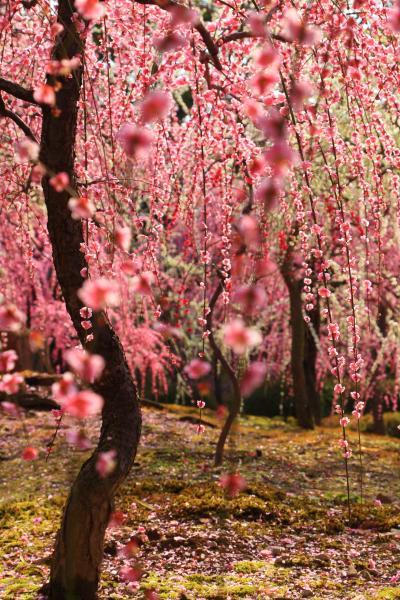 京都 城南宮の枝垂れ梅