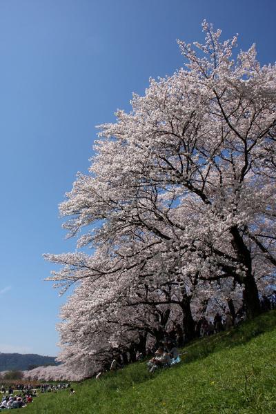 八幡桜だより~背割堤満開唯一の晴天編(前編)