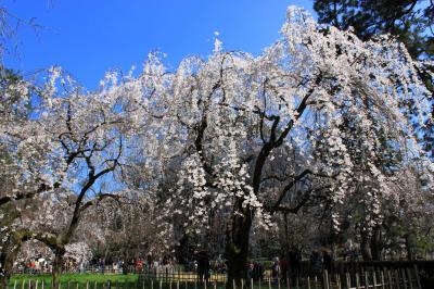 ポカポカ陽気に誘われて~京都御苑の枝垂れ桜~東山散歩