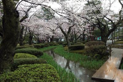 雨の金沢は桜が満開