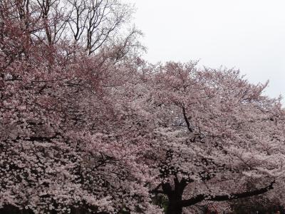 新宿御苑の花見