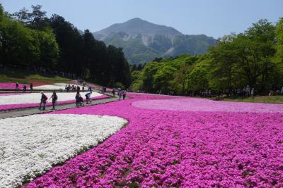 秩父羊山公園、念願の芝桜観賞
