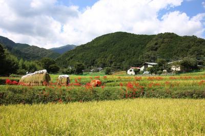 神奈川の花の名所100選:日向薬師の彼岸花