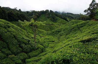 南インド★ケララ州完全攻略的旅の行方【ムナール編】ヴェルヴェットの茶畑