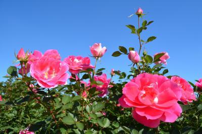 そうだ!茨城県に行こう!コキアからバラへ、秋のひたち海浜公園。あんこう鍋もイイ感じ♪
