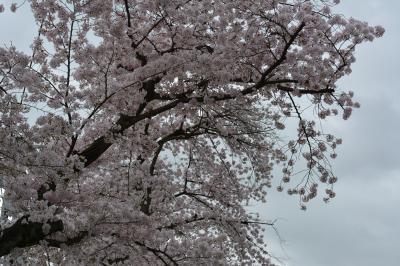 淀川の背割りで雨中花見