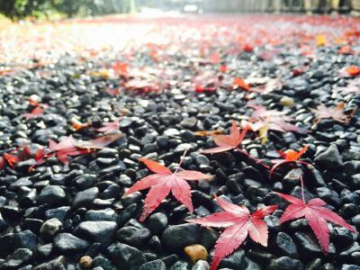 知恩院ー円山公園の紅葉2015