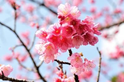沖縄旅行ー1 ひとあし、お咲に!!桜前線スタートです!沖縄 本部八重岳の寒緋桜と瀬底島の夕日