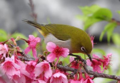 日ハムキャンプ巡礼のあとのお楽しみ☆日本一早く咲く、今帰仁のサクラでも、見ましょうね~ 後編