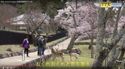 4K動画で見る 2016年 奈良公園の桜