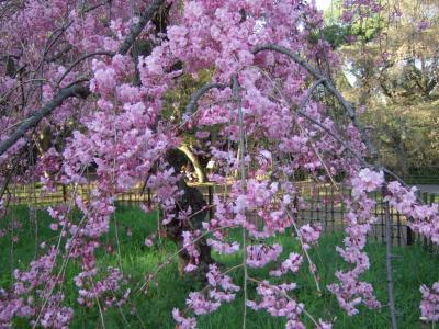 京都御苑で1時間の花見