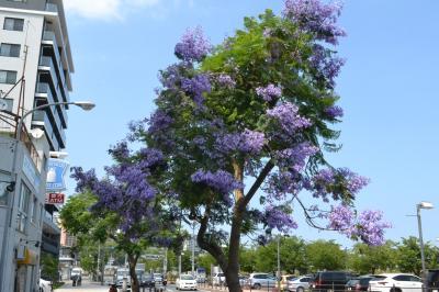 【ジャカランダフェスティバル2016】ジャカランダの花を見に熱海に行きました。観光の目玉になるか?