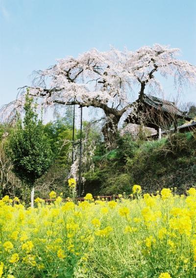 ひとりお花見部 2008 井手の玉川~地蔵禅院~京都市内
