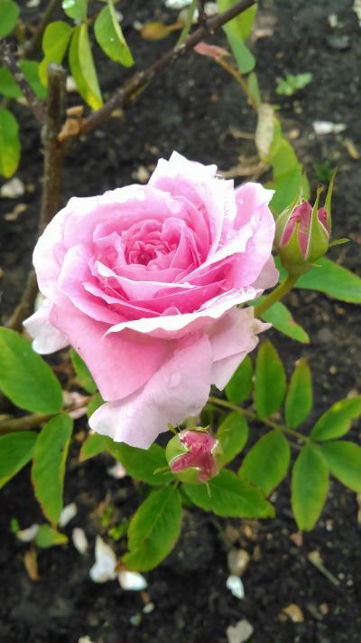 花と庭、美しいものを見る旅~6月のイギリスにて~その1