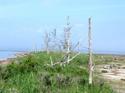 北海道・道東 花へんろ・・・(3)やがては消える野付半島トドワラ