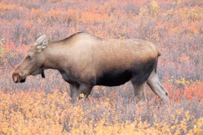 2015年 秋はアラスカ、ニューヨーク、ワシントンDCとウイリアムスバーグ 31日間 その2:デナリ国立公園