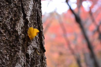 今年も紅葉の見納めは鎌倉天園の獅子舞で