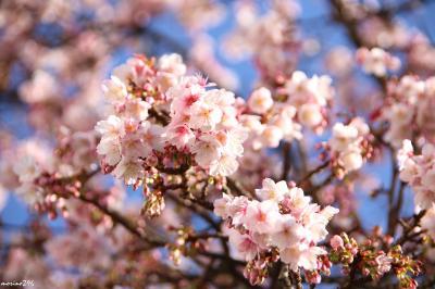 春はもうすぐ!? 早咲きの梅と桜を愛でに熱海まで
