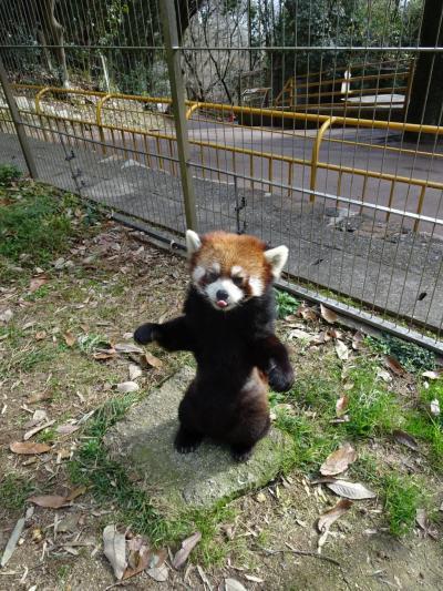 レッサーパンダの餌やり体験
