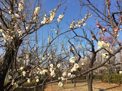 早咲き梅の羽根木公園