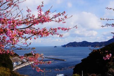 つくみ四浦半島の河津桜はもうすぐ満開