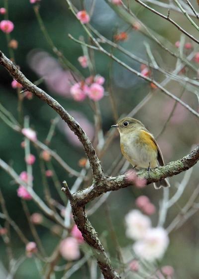 野鳥撮影記録(2017年2月)その9・公園