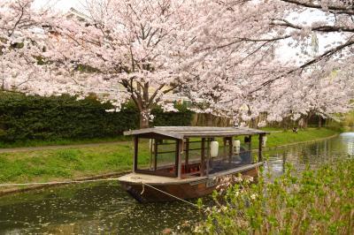 ひとりお花見部2016 伏見の桜と京都市動物園春の夜間開園そしてすいば
