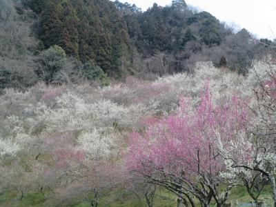 週末散歩 高尾の梅郷を散策