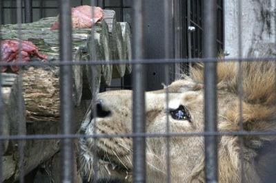 バレンタインのラブラブピークを過ぎてしまった新川崎と横浜のレッサーパンダ詣(2)野毛山動物園(後編)ミナミコアリクイは昼寝中、ツキノワグマは展示中止で残念だったけど、ライオンのラージャーくんの可愛らしさを知る