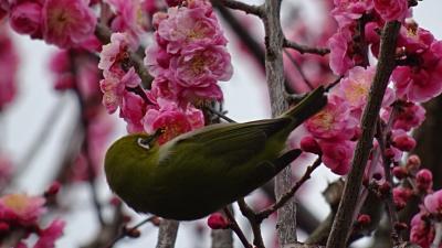 万博公園へ春を探しに出かけました(2) 梅林で観梅 下巻。