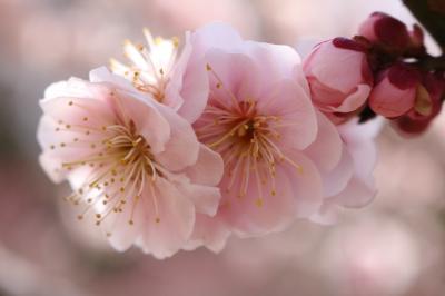 梅の花 花めぐり♪ 2017年総集編