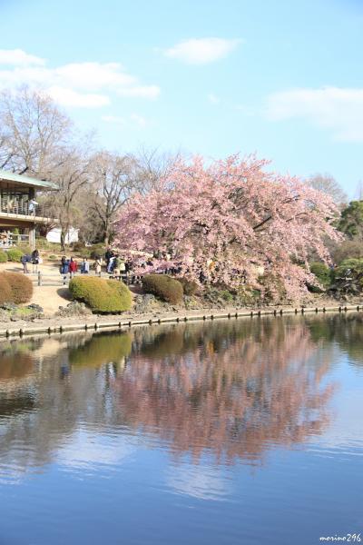 新宿御苑の桜ウォッチング:早春に咲く桜♪