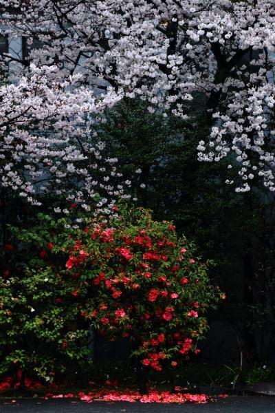 京都 桜めぐり~立本寺、渉成園、智積院、大石神社、瑞光寺
