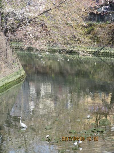 横浜大岡川の花見と弘明寺観音