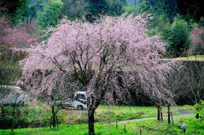 枝垂れ桜めぐり2017