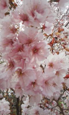 青春18きっぷで京都から福島へお花見