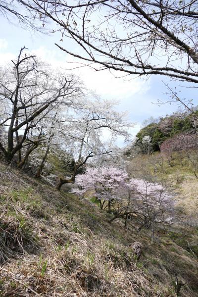 満開の桜を愛でる ー 「多摩森林科学園」を訪ねて